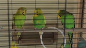 Οι πράσινοι κυματιστοί παπαγάλοι απόθεμα βίντεο