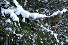 Οι πράσινοι κλάδοι του πεύκου κάλυψαν το όμορφο χιόνι και hoarfrost στοκ φωτογραφία με δικαίωμα ελεύθερης χρήσης
