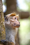 Οι πράσινοι πίθηκοι λίγου wilde ή guenons χαρακτηρίζουν το τοπίο των τροπικών δασών Στοκ Εικόνα