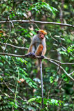 Οι πράσινοι πίθηκοι λίγου wilde ή guenons χαρακτηρίζουν το τοπίο των τροπικών δασών Στοκ εικόνες με δικαίωμα ελεύθερης χρήσης