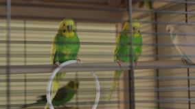 Οι πράσινοι παπαγάλοι κυματιστοί απόθεμα βίντεο