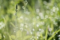 Οι πτώσεις δροσιάς στις χλόες λιβαδιών στον ήλιο πρωινού στοκ εικόνες με δικαίωμα ελεύθερης χρήσης