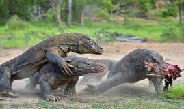 Οι δράκοι δράκων Komodo παλεύουν για το θήραμα Ο δράκος Komodo, komodoensis Varanus στοκ εικόνα