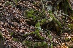 Οι ρίζες δέντρων Στοκ εικόνα με δικαίωμα ελεύθερης χρήσης