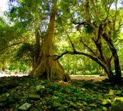 Οι ρίζες δέντρων Banyan στις καταστροφές ναών Angkor, Siem συγκεντρώνουν, Καμπότζη Στοκ Εικόνες