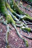 Οι ρίζες ενός δέντρου στο χώμα που καλύπτεται με εκείνα τα νύχια σκάβουν πραγματικά Στοκ Εικόνες