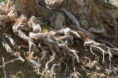 Οι ρίζες ενός μεγάλου δέντρου στοκ εικόνα με δικαίωμα ελεύθερης χρήσης