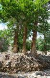 Οι ρίζες ενός μεγάλου δέντρου στοκ φωτογραφίες με δικαίωμα ελεύθερης χρήσης