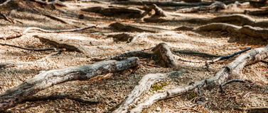Οι ρίζες των δέντρων έλατου που βρίσκονται στο έδαφος στοκ εικόνα