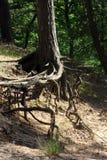 Οι ρίζες των δέντρων πεύκων που αυξάνονται στις κλίσεις Στοκ εικόνες με δικαίωμα ελεύθερης χρήσης