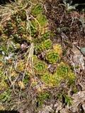Οι ροζέτες των άγριων succulent εγκαταστάσεων Sempervivum ανθίζουν την ανάπτυξη στους βράχους στην περιοχή βουνών Στοκ Εικόνα