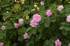 Οι ρόδινες άγρια περιοχές λουλουδιών αυξήθηκαν Στοκ Εικόνες