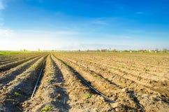 Οι σειρές των νέων πατατών αυξάνονται στον τομέα Άρδευση σταλαγματιάς Τοπίο γεωργίας Αγροτικές φυτείες Καλλιέργεια αγροτικού καλλ στοκ εικόνα με δικαίωμα ελεύθερης χρήσης