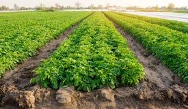 Οι σειρές των πατατών αυξάνονται στο αγρόκτημα Ανάπτυξη των οργανικών λαχανικών στον τομέα Καλλιέργεια E r στοκ εικόνες