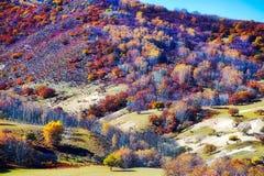 Οι σημύδες φθινοπώρου στο βουνό Στοκ φωτογραφία με δικαίωμα ελεύθερης χρήσης