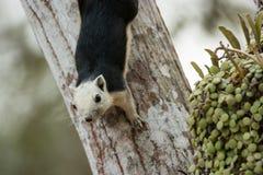 Οι σκίουροι βρίσκονται σε όλο τον κόσμο Στοκ φωτογραφία με δικαίωμα ελεύθερης χρήσης
