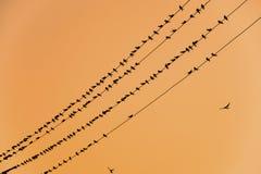 Οι σκιαγραφίες καταπίνουν στα καλώδια στο ηλιοβασίλεμα το καλώδιο και καταπίνει Στοκ εικόνα με δικαίωμα ελεύθερης χρήσης