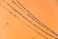 Οι σκιαγραφίες καταπίνουν στα καλώδια στο ηλιοβασίλεμα το καλώδιο και καταπίνει Στοκ Εικόνες
