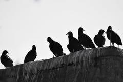 Οι σκοτεινοί γύπες συλλέγουν Στοκ εικόνα με δικαίωμα ελεύθερης χρήσης