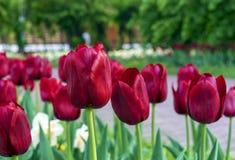 Οι σκούρο κόκκινο τουλίπες στο α ενός κήπου πόλεων στοκ φωτογραφία με δικαίωμα ελεύθερης χρήσης