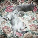 Οι σκωτσέζικες πτυχές γατών και σκωτσέζικος ευθύς βρίσκονται στο κρεβάτι στοκ φωτογραφία με δικαίωμα ελεύθερης χρήσης