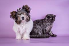 Οι σκωτσέζικες πτυχές και ο μικρός καπνός γατακιών 4 monts σκυλιών μικρός χαριτωμένος μαύρος χρωματίζουν Στοκ Εικόνες