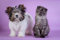 Οι σκωτσέζικες πτυχές και ο μικρός καπνός γατακιών 4 monts σκυλιών μικρός χαριτωμένος μαύρος χρωματίζουν Στοκ εικόνα με δικαίωμα ελεύθερης χρήσης