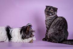 Οι σκωτσέζικες πτυχές και ο μικρός καπνός γατακιών 4 monts σκυλιών μικρός χαριτωμένος μαύρος χρωματίζουν Στοκ φωτογραφία με δικαίωμα ελεύθερης χρήσης