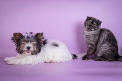 Οι σκωτσέζικες πτυχές και ο μικρός καπνός γατακιών 4 monts σκυλιών μικρός χαριτωμένος μαύρος χρωματίζουν Στοκ Εικόνα