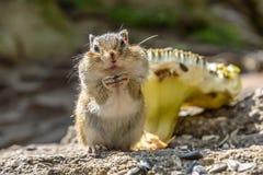 Οι σπόροι ηλίανθων Chipmunk τρώνε Στοκ Εικόνα