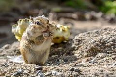 Οι σπόροι ηλίανθων Chipmunk τρώνε Στοκ φωτογραφία με δικαίωμα ελεύθερης χρήσης