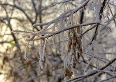 Οι σπόροι σφενδάμνου καλύπτονται με το χιόνι Στοκ Εικόνες