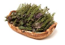 Οι σπόροι χορταριών Perilla χρησιμοποιούνται στη βοτανική ιατρική παραδοσιακού κινέζικου στοκ εικόνες με δικαίωμα ελεύθερης χρήσης