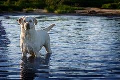 Οι στάσεις σκυλιών στο νερό στοκ φωτογραφία με δικαίωμα ελεύθερης χρήσης