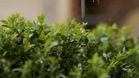 Οι σταγόνες βροχής χύνουν στον πράσινο θάμνο του πυξαριού απόθεμα βίντεο