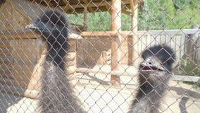 Οι στρουθοκάμηλοι κλείνουν επάνω Αγρόκτημα ζωολογικών κήπων φιλμ μικρού μήκους