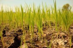 Οι συγκομιδές προσπαθούν να αναπτύξουν στο ξηρό έδαφος Στοκ Εικόνες