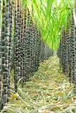 Φυτεία ζαχαροκάλαμων στοκ φωτογραφίες