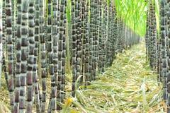 Φυτεία ζαχαροκάλαμων στοκ εικόνα με δικαίωμα ελεύθερης χρήσης