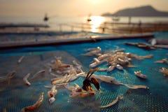 Οι σφήκες που κλέβουν τα ψάρια ξεραίνουν. Στοκ φωτογραφία με δικαίωμα ελεύθερης χρήσης