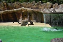 Οι σφραγίδες παίζουν η μια την άλλη στο ζωολογικό κήπο του Μπλάκπουλ στοκ φωτογραφίες