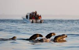 Οι σφραγίδες κολυμπούν και πηδώντας από το νερό. Στοκ εικόνες με δικαίωμα ελεύθερης χρήσης