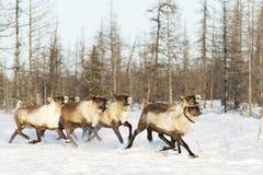 Οι τάρανδοι μεταναστεύουν για μια καλύτερη βοσκή tundra στοκ φωτογραφία με δικαίωμα ελεύθερης χρήσης
