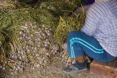 Οι ταϊλανδικοί αγρότες αποθηκεύουν το σκόρδο Στοκ Εικόνες