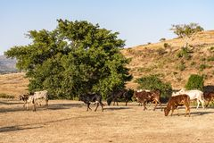 Οι ταύροι Brahman ή Zebu κοντά στον μπλε Νείλο πέφτουν, tis-Isat στην Αιθιοπία στοκ εικόνες