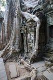 Οι τεράστιες ρίζες δέντρων καταπίνουν το ναό Στοκ Φωτογραφία