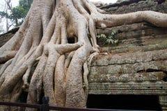 Οι τεράστιες ρίζες δέντρων καταπίνουν το ναό Στοκ Εικόνα
