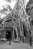 Οι τεράστιες ρίζες δέντρων καταπίνουν το ναό Στοκ Εικόνες