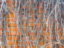 Οι τοίχοι, που χτίζονται τούβλινου που περιπλέκεται βαριά με τις αμπέλους στοκ φωτογραφίες