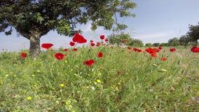 Οι τομείς λουλουδιών παπαρουνών θέτουν σε ένα υπόβαθρο μπλε ουρανού σε ένα λαμπρό ισπανικό φως του ήλιου ουρανού απόθεμα βίντεο